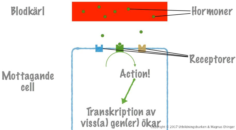 hur fungerar hormoner