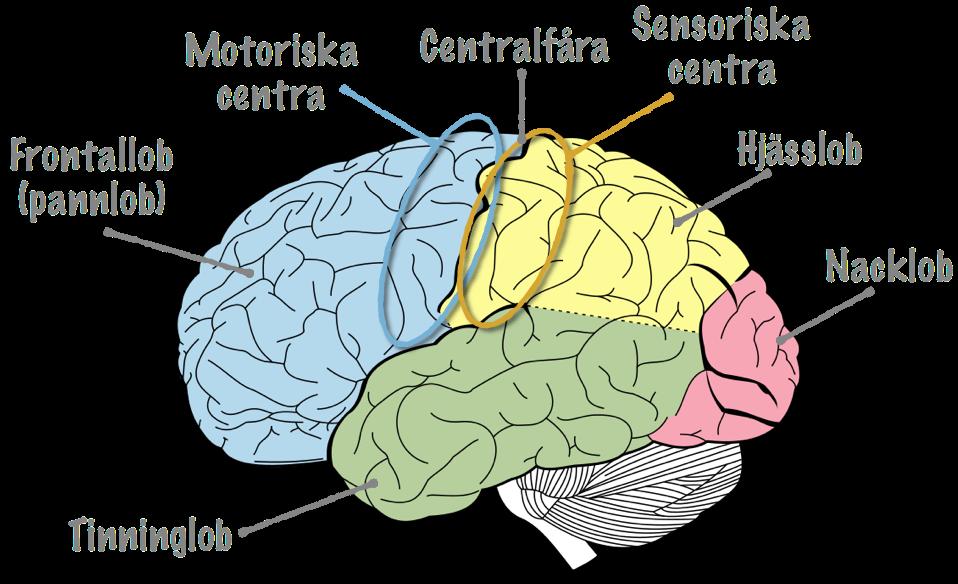 olika centra i hjärnan
