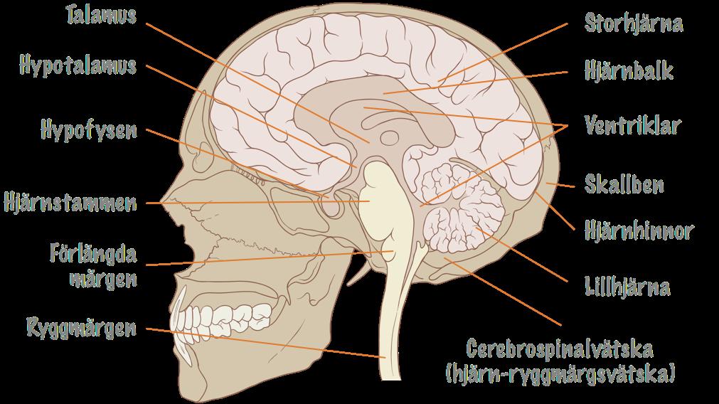 vilken del av hjärnan styr andningen